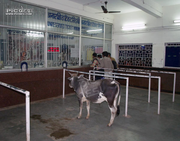 Cow on Railway Ticket Window India Funny Picture