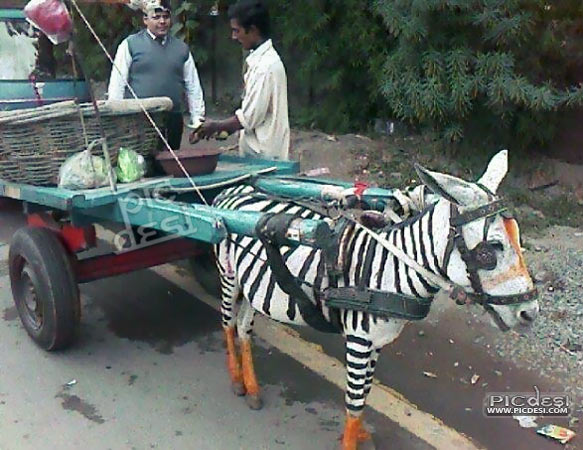 Only in India Funny Zebra Cart India Funny Picture