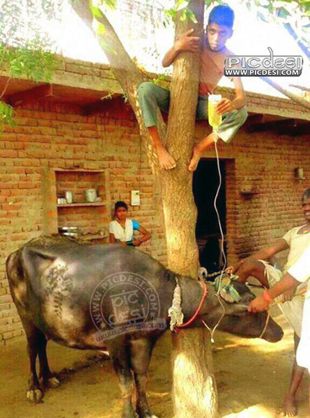 Animal Treatment Jugaad in India India Funny Picture