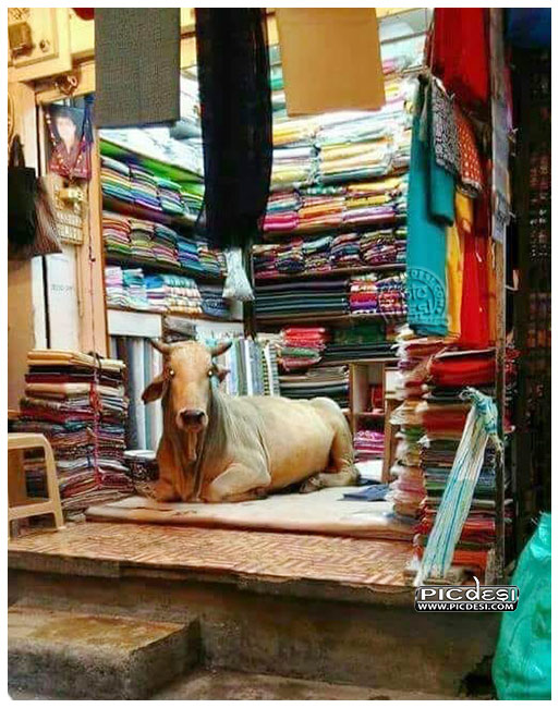 Cow in Shop Only in India India Funny Picture